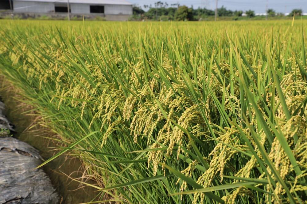 【拯救水稻案例】-107年嘉義水上鄉一期作