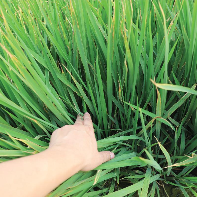 稻熱病水稻-能恢復長勢並控制病害擴散