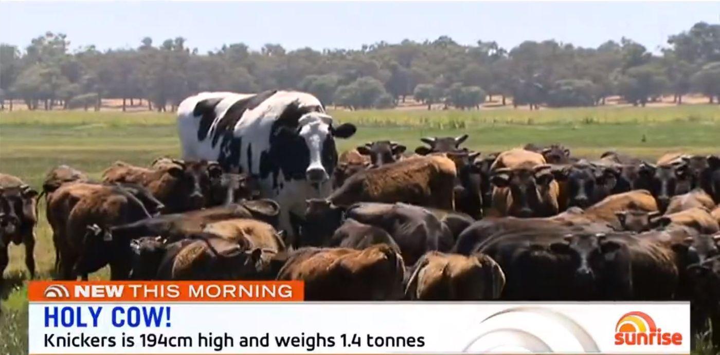 牛只要巨大,就可以逃過宰殺的命運?