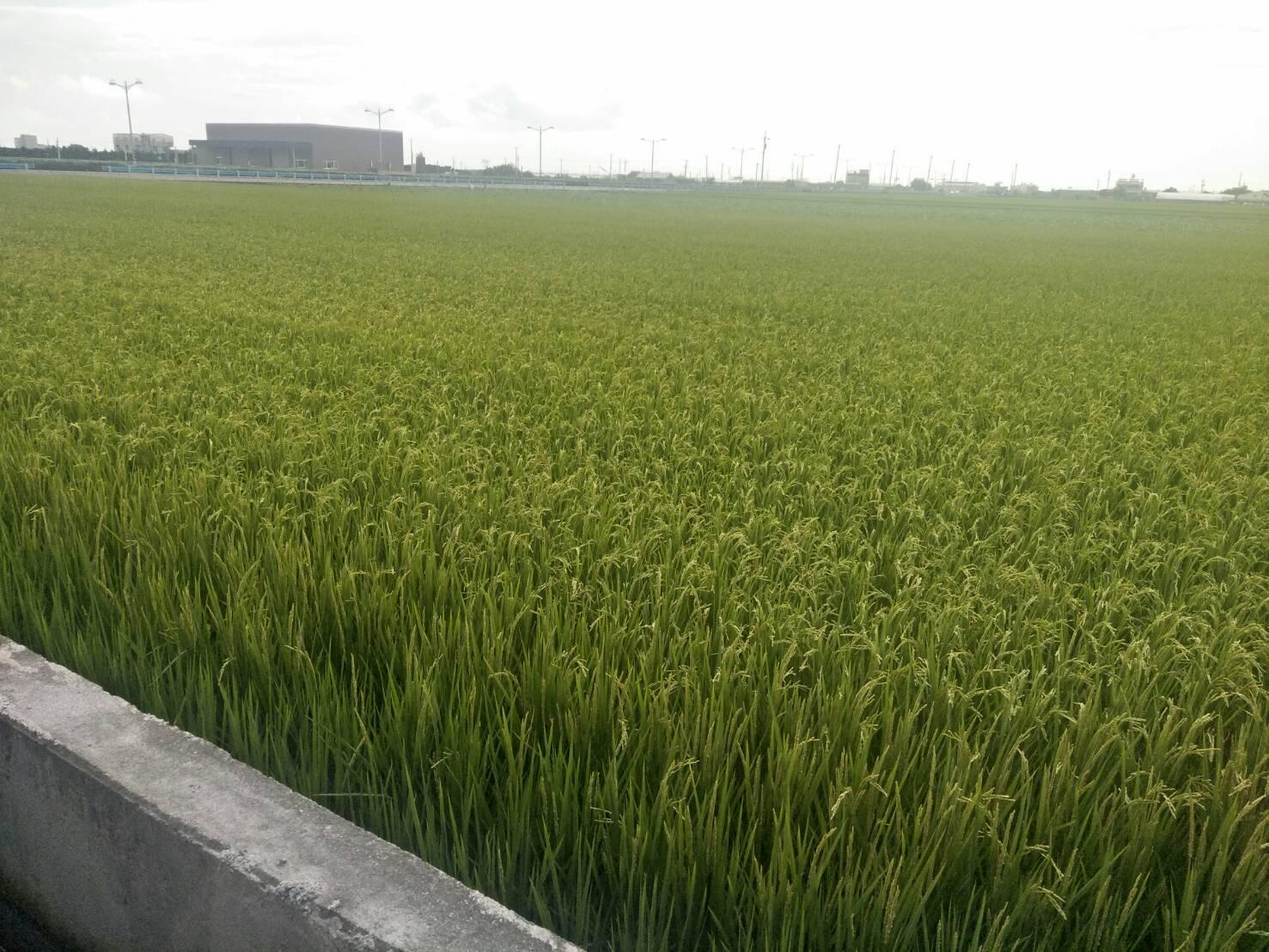 【水稻】稻熱病使用好立富SENT的恢復狀況